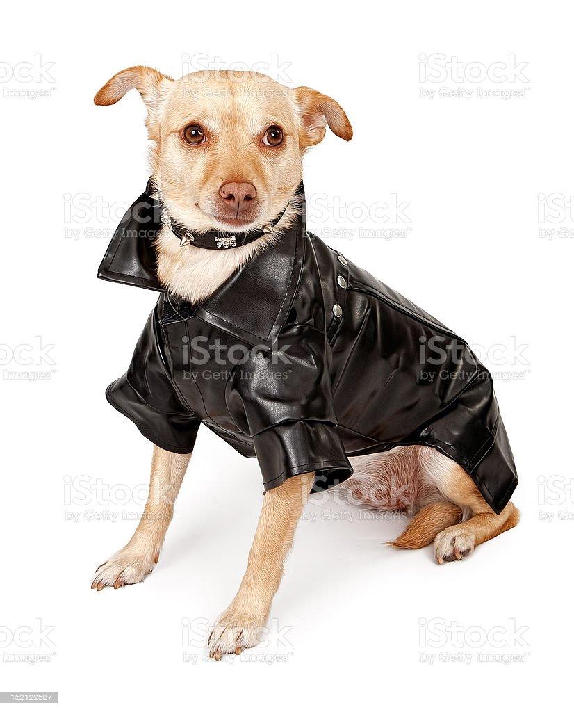 Chihuahua Mix Dog Wearing Black Leather Jacket royalty-free stock photo
