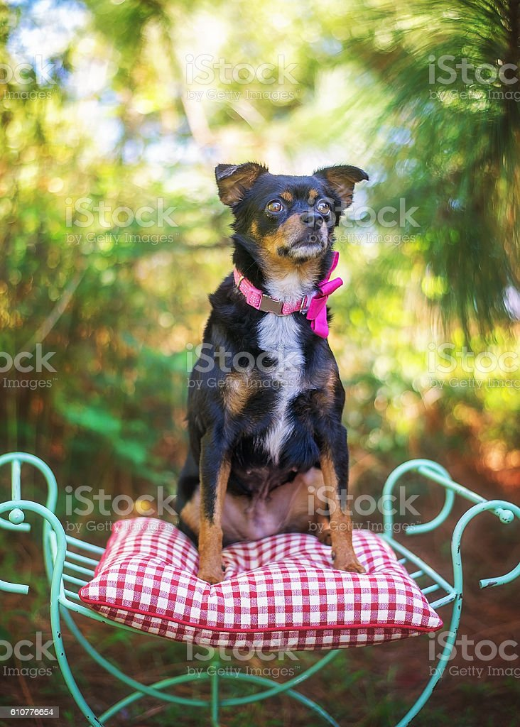Chihuahua Mix Posing for Portrait stock photo