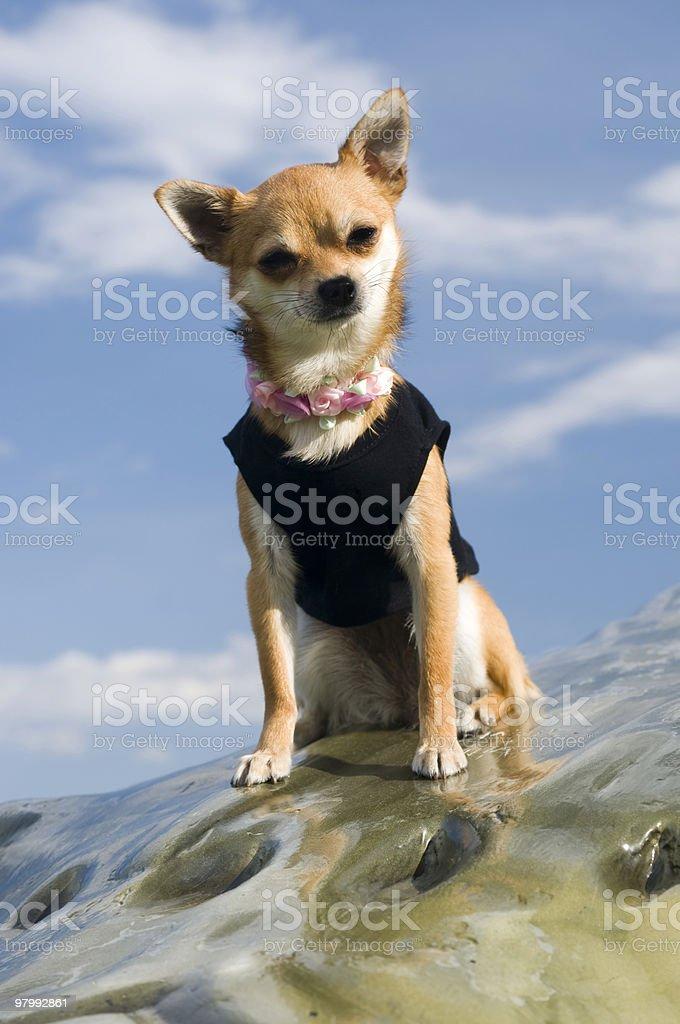 Chihuahua mix puppy royalty-free stock photo