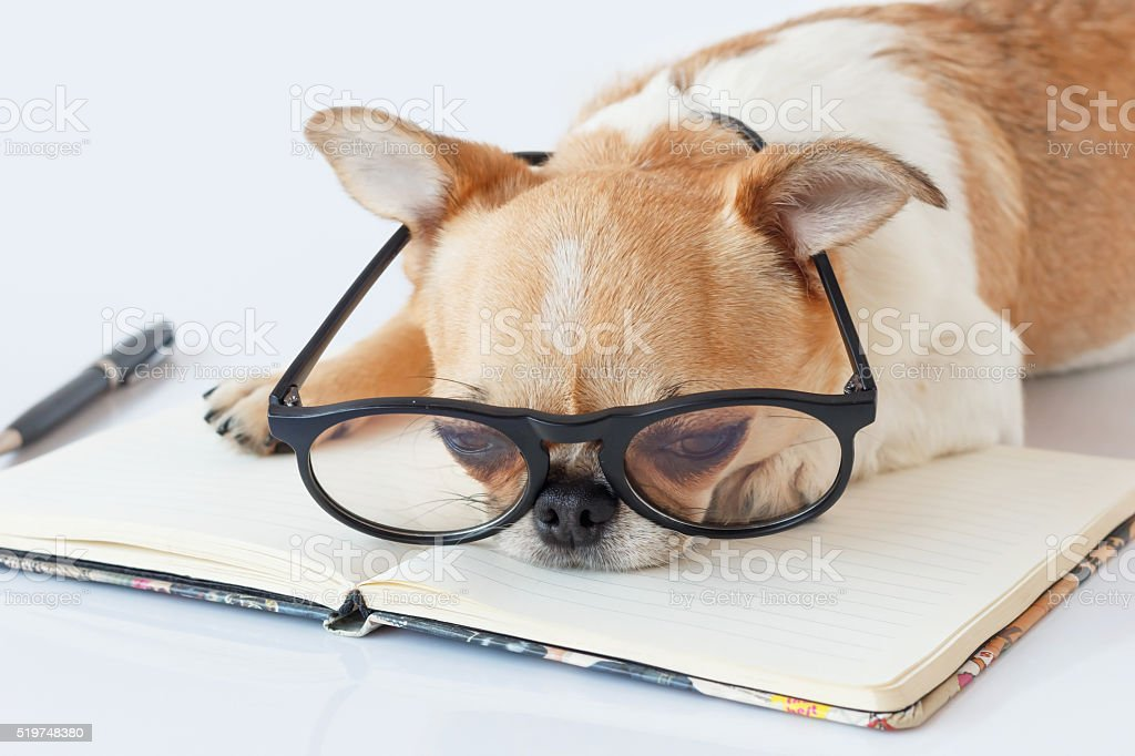 Chihuahua Officer dog stock photo