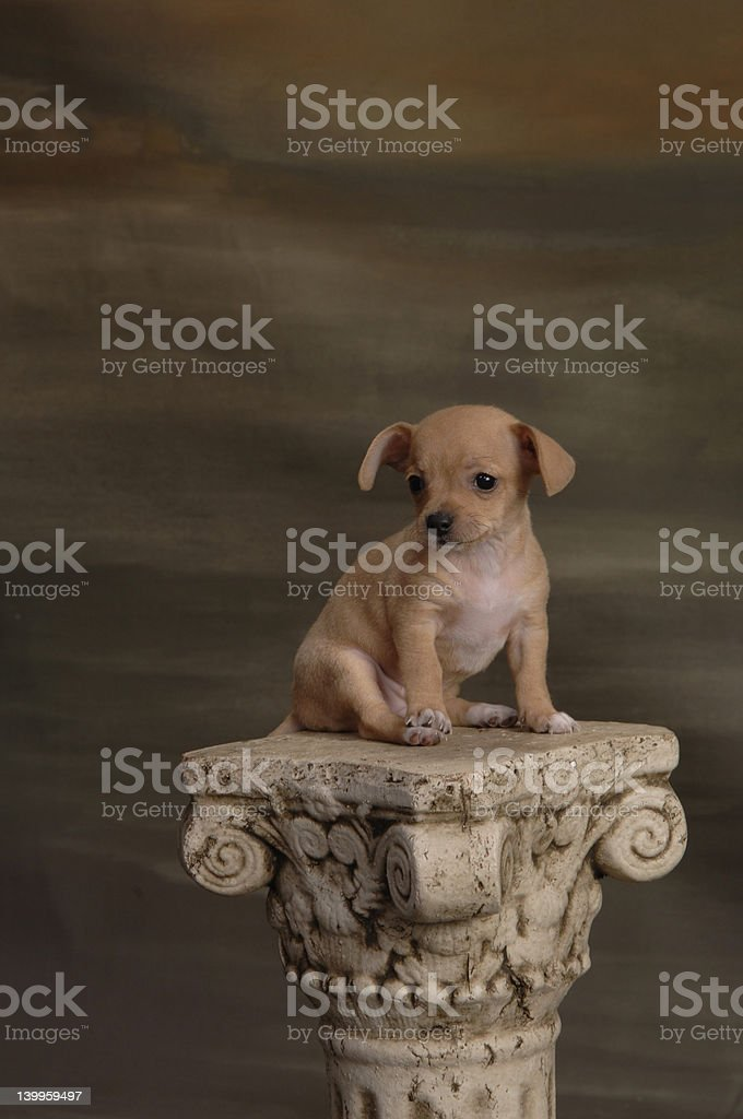 Chihuahua on a pedestal. royalty-free stock photo