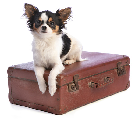 Chihuahua on a suitcase