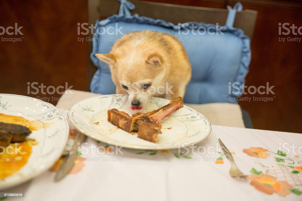 Chihuahua on chair at table eating a large steak bone stock photo