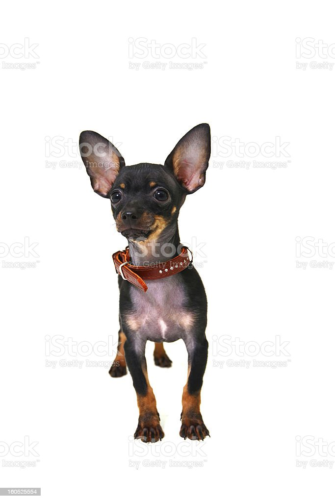 Chihuahua on isolated white background royalty-free stock photo