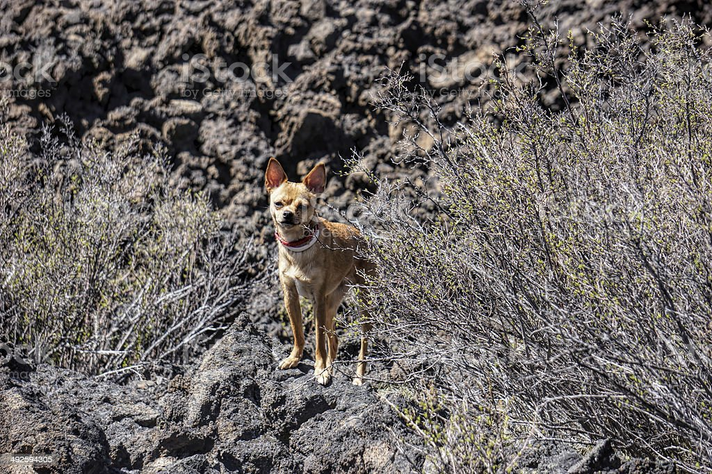 chihuahua on lava flow stock photo