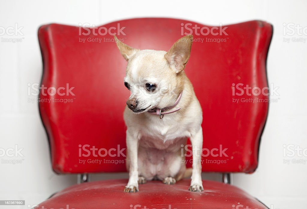 chihuahua on red pleather chair stock photo
