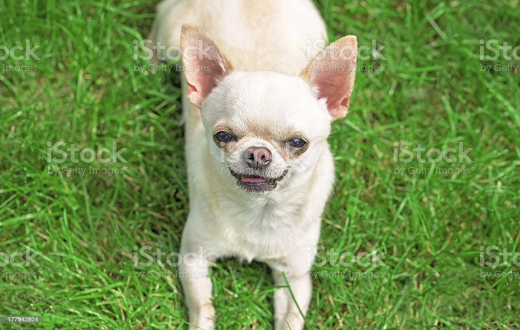 chihuahua on the grass royalty-free stock photo