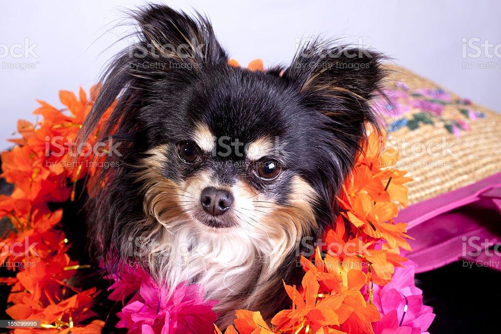 Chihuahua on vacation royalty-free stock photo