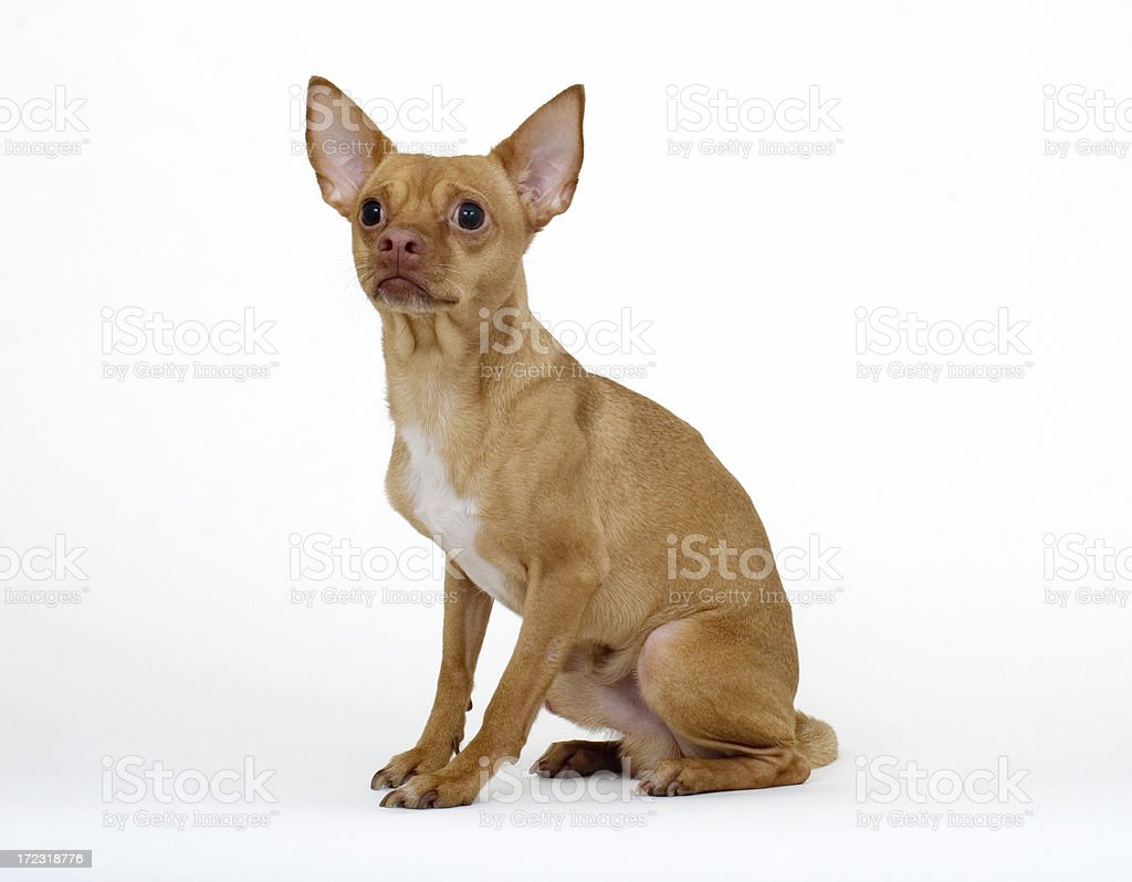 Chihuahua on White Background royalty-free stock photo