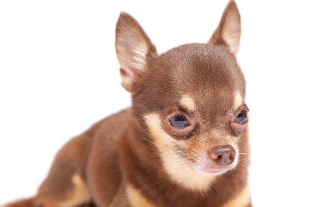 Chihuahua on white background picture id696988690?b=1&k=6&m=696988690&s=612x612&w=0&h=us1e 4pty2cn6gkf689ijh3mflpknph2nexvdy9ynik=