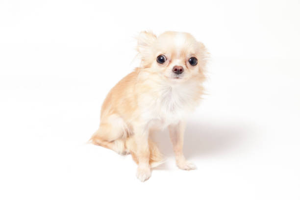 Chihuahua on white background picture id696988692?b=1&k=6&m=696988692&s=612x612&w=0&h=lpq8cur5e96arbhwidqqnjqntagm6pidy8d33xlihmq=