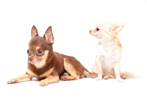 Chihuahua on white background picture id696988704?b=1&k=6&m=696988704&s=612x612&w=0&h=0heguixgweuc1rnnjmhod75qtkgyuvivrfmi bxsb8o=