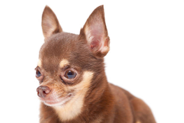 Chihuahua on white background picture id696988706?b=1&k=6&m=696988706&s=612x612&w=0&h=omkzb2r 1nxnt 8rkq1qihfkb0tgbfroi8pe0goh7vu=