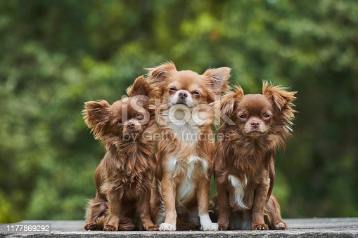 Chihuahua pure bred dog outdoor.
