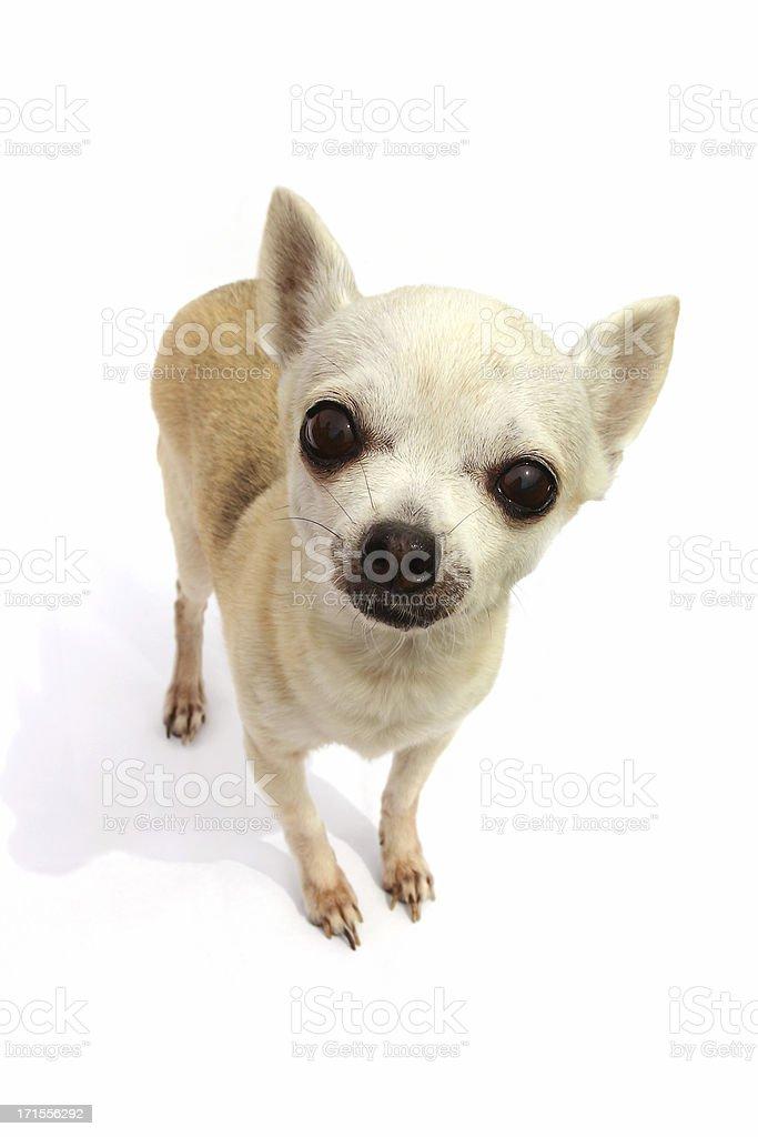 Chihuahua royalty-free stock photo