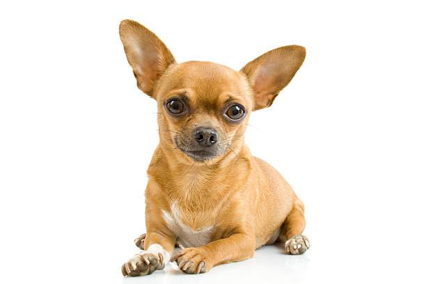 chihuahua - chihuahua chien de race photos et images de collection