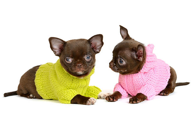 Chihuahua Two Chocolate Chihuahua puppy in the clothes isolated on  white short haired chihuahua stock pictures, royalty-free photos & images