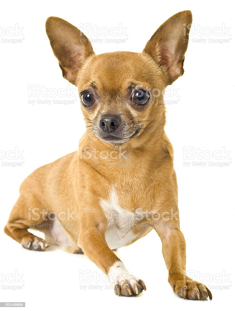 chihuahua royalty-free stock photo