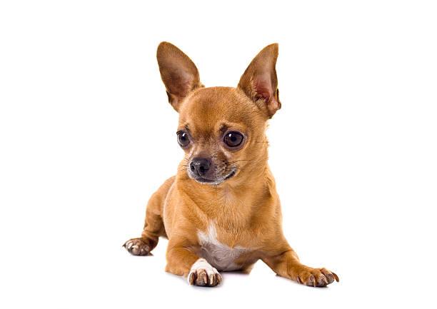 Chihuahua picture id182782327?b=1&k=6&m=182782327&s=612x612&w=0&h= syd0xurxcxc uxpupktxtr op fr3crblhbikpje3s=