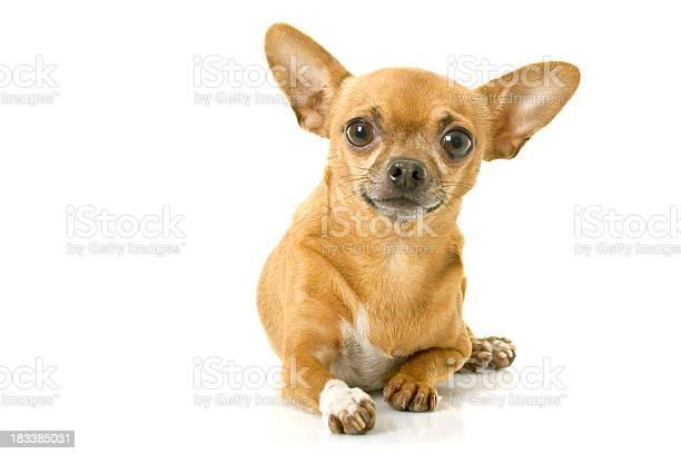 Chihuahua picture id183385031?b=1&k=6&m=183385031&s=612x612&h=0oo6dknfslspvlqlerbj9ty7 00zwoh6vrapeggbh60=