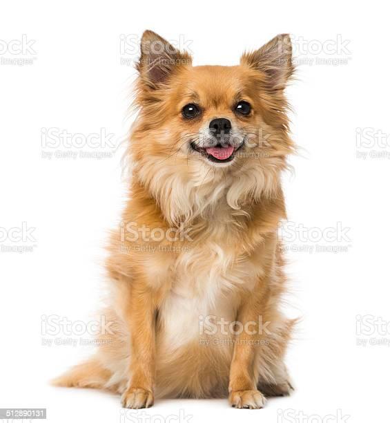 Chihuahua picture id512890131?b=1&k=6&m=512890131&s=612x612&h=uscdivmm99ipmorkx3rqzfjxz4r36onpxbcjx 13y90=
