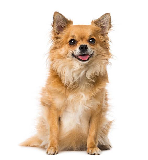 Chihuahua picture id512890131?b=1&k=6&m=512890131&s=612x612&w=0&h=lbiefquj9mrdqudjiljgsk3oxd0mwew e6fmpooqdyc=
