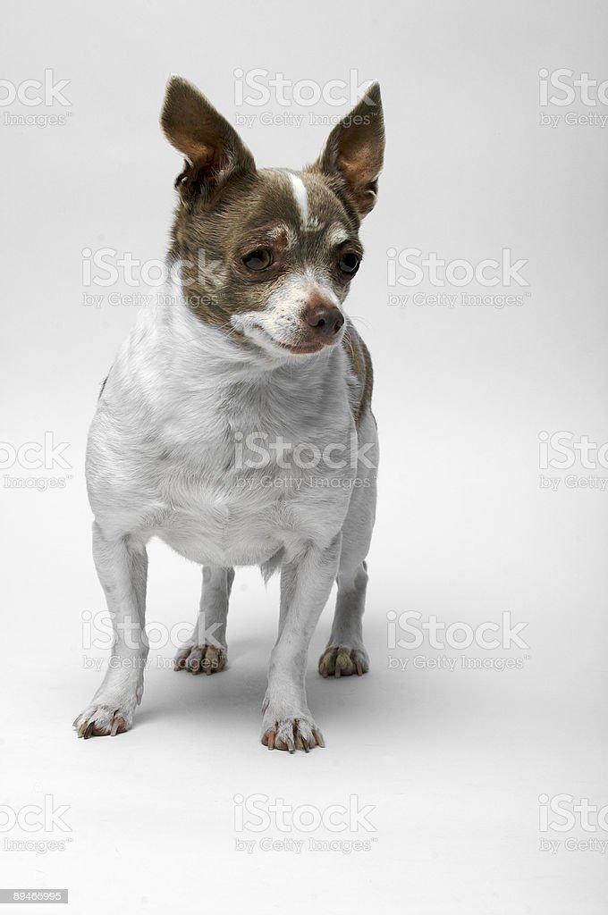 Chihuahua (Rodrigo 02) royalty-free stock photo
