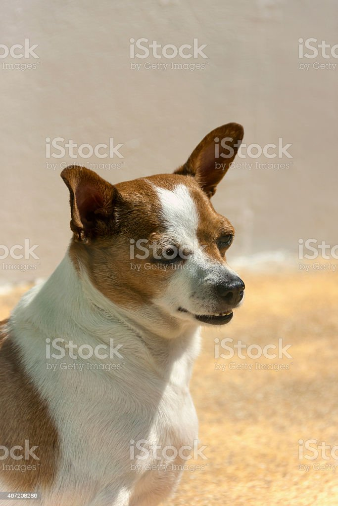 Chihuahua portrait outdoor royalty-free stock photo