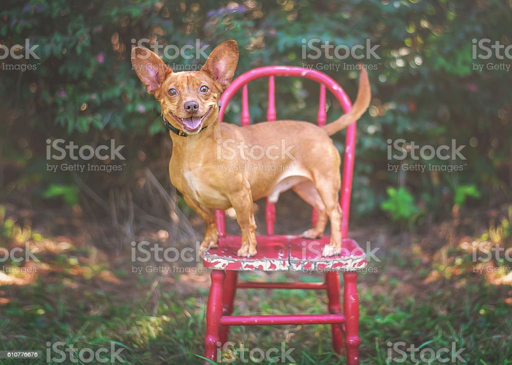 Chihuahua Posing on Red Chair stock photo