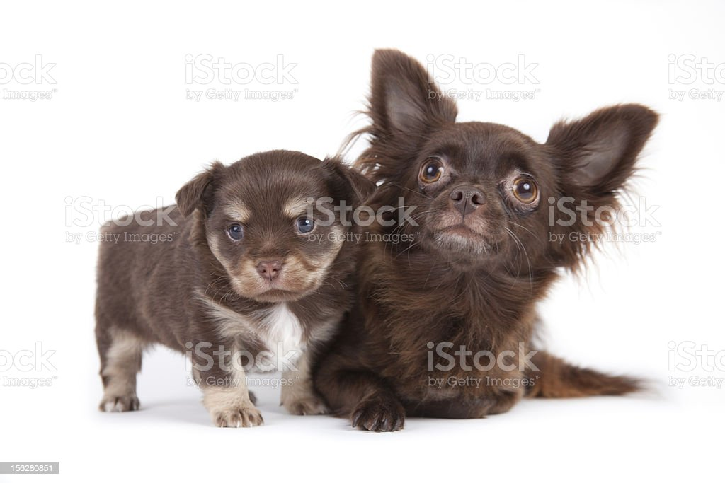 chihuahua pup royalty-free stock photo