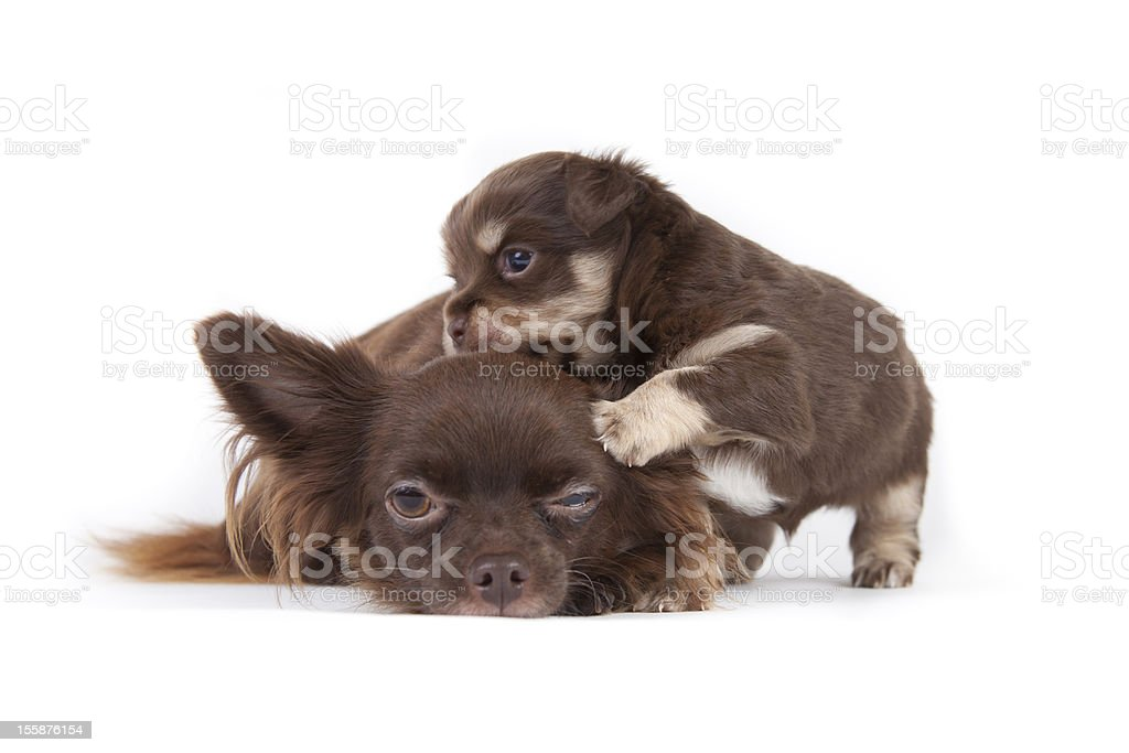 chihuahua pup with mother royalty-free stock photo