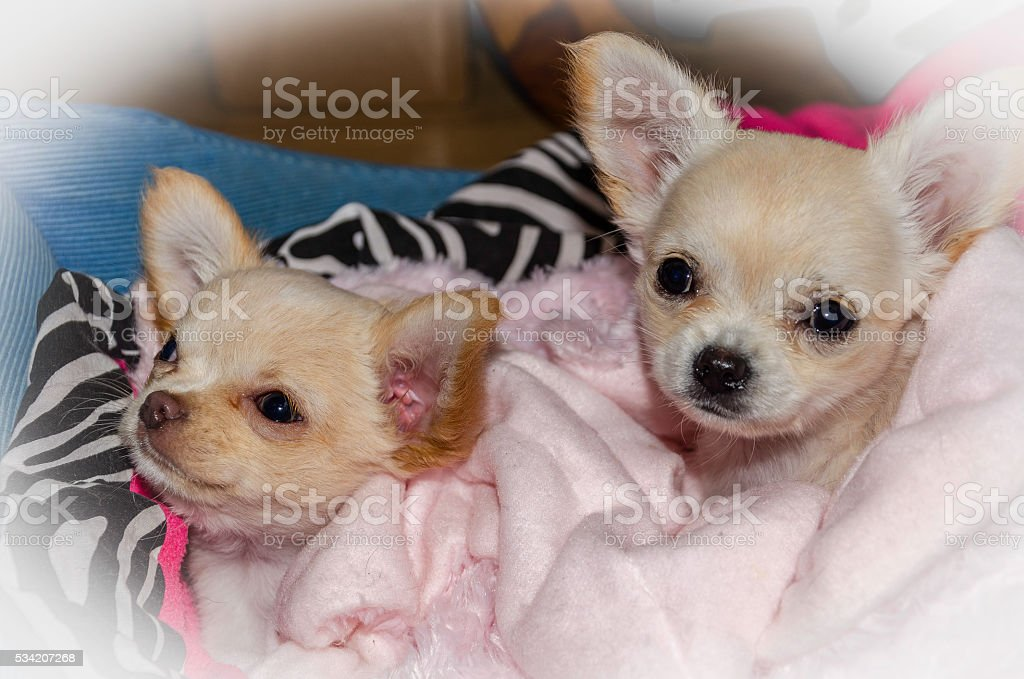 Chihuahua Puppies Close Up Portrait Black And Tan Stock Photo Download Image Now Istock