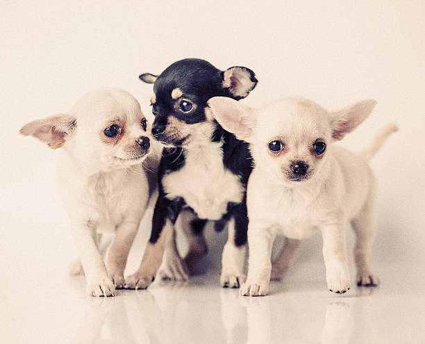chihuahua puppies  short haired chihuahua stock pictures, royalty-free photos & images