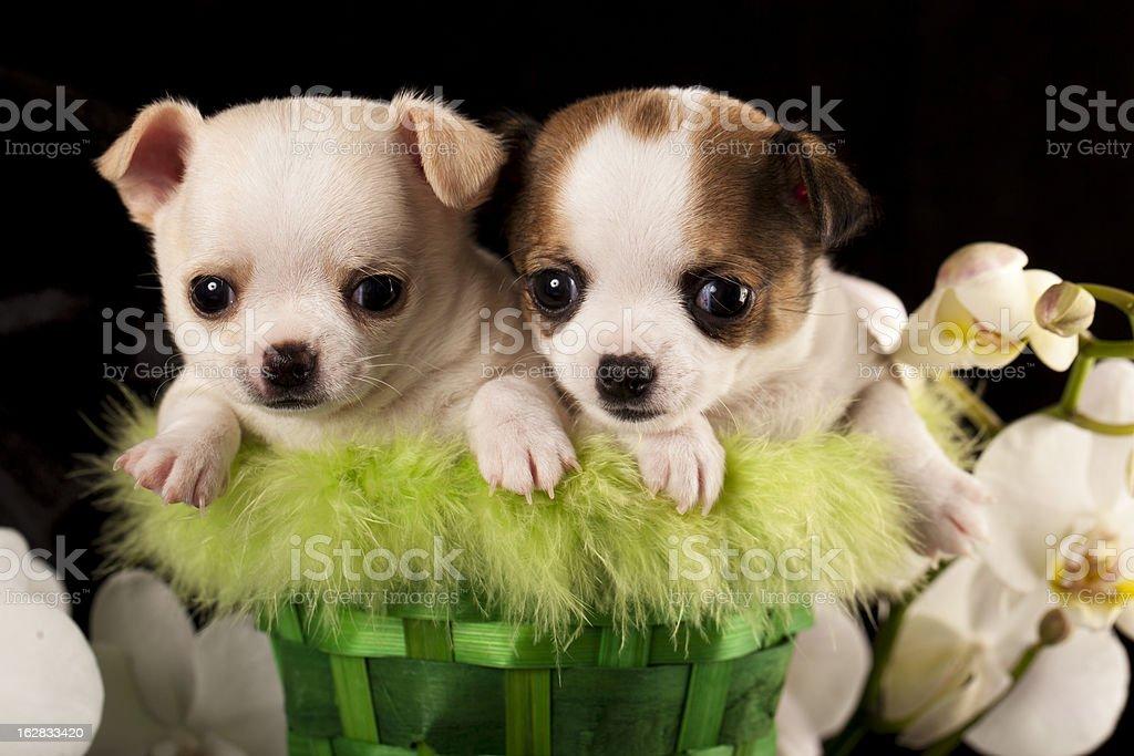 Chihuahua puppies royalty-free stock photo