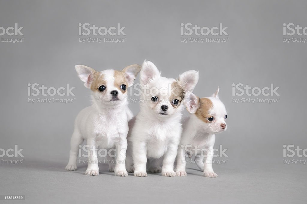 Chihuahua puppies portrait royalty-free stock photo