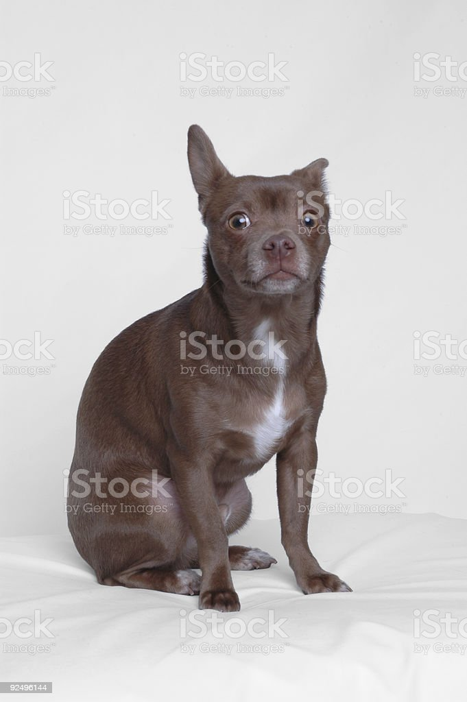 chihuahua puppy 3 - alert (by request) royalty-free stock photo