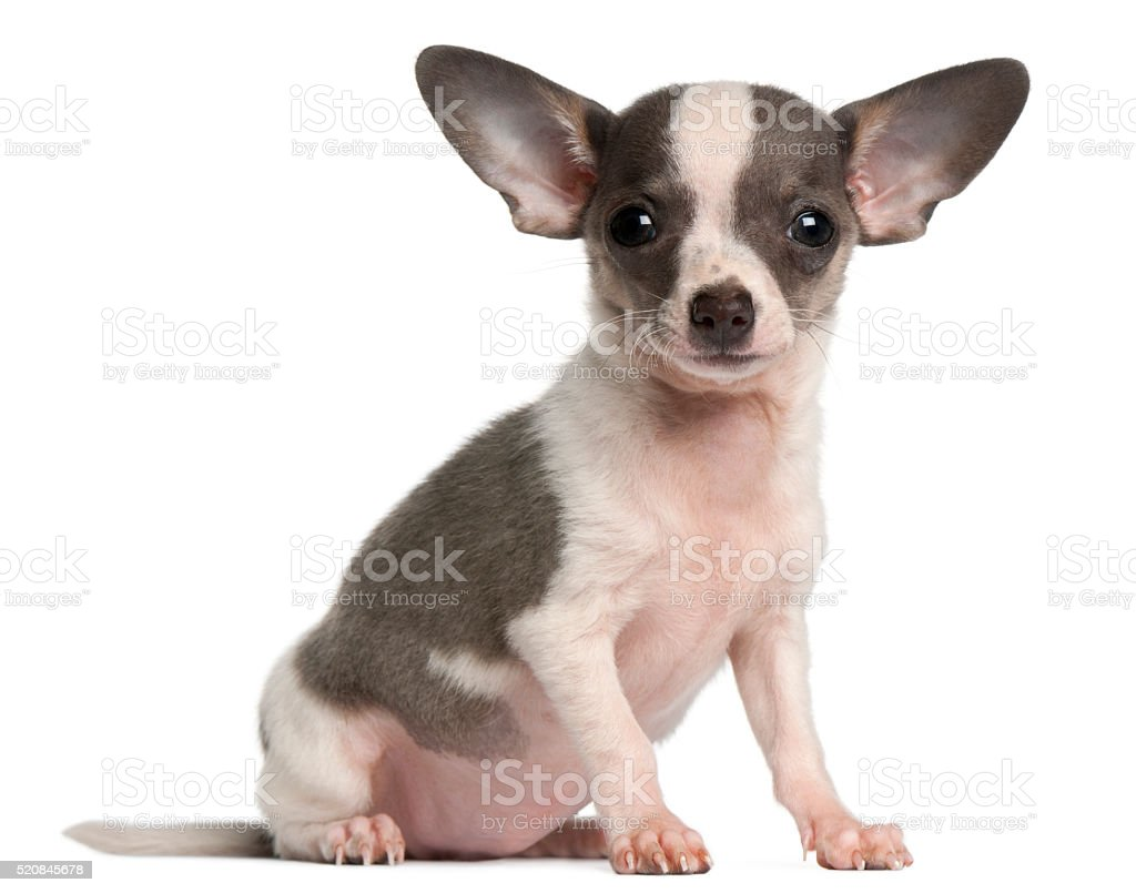 Chihuahua puppy, 3 months old, sitting stock photo