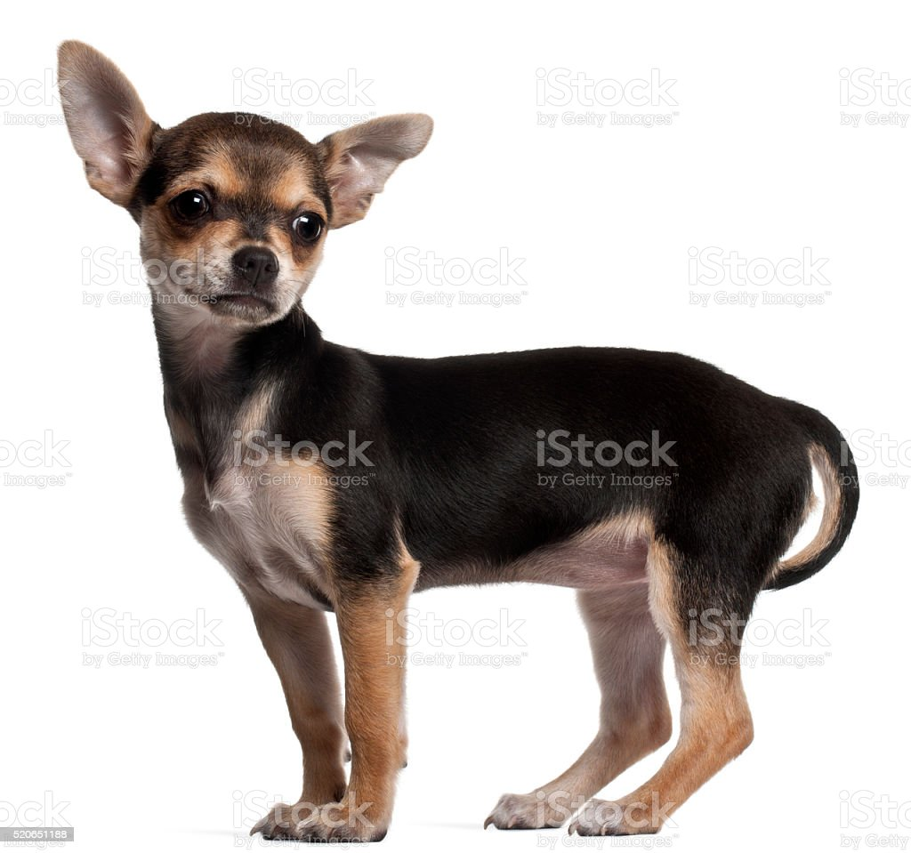 Chihuahua puppy, 3 months old, standing stock photo