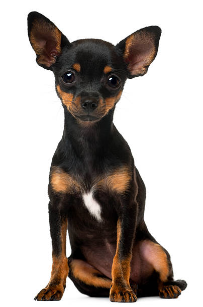 Chihuahua puppy 5 months old sitting picture id524172718?b=1&k=6&m=524172718&s=612x612&w=0&h=avnb4lgfw qc7vanntjwnw16aldm7tbqjkbuja31pxo=