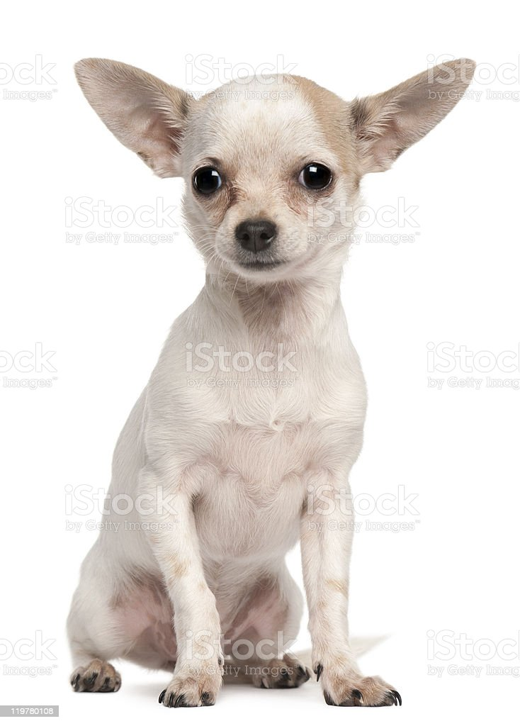 Chihuahua Puppy 5 Months Old Sitting White Background Stock Photo Download Image Now Istock