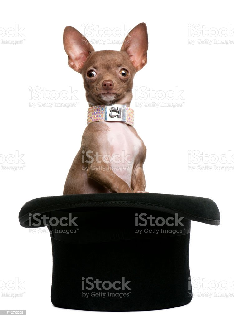 Chihuahua puppy, 6 months old, sitting in top hat. royalty-free stock photo