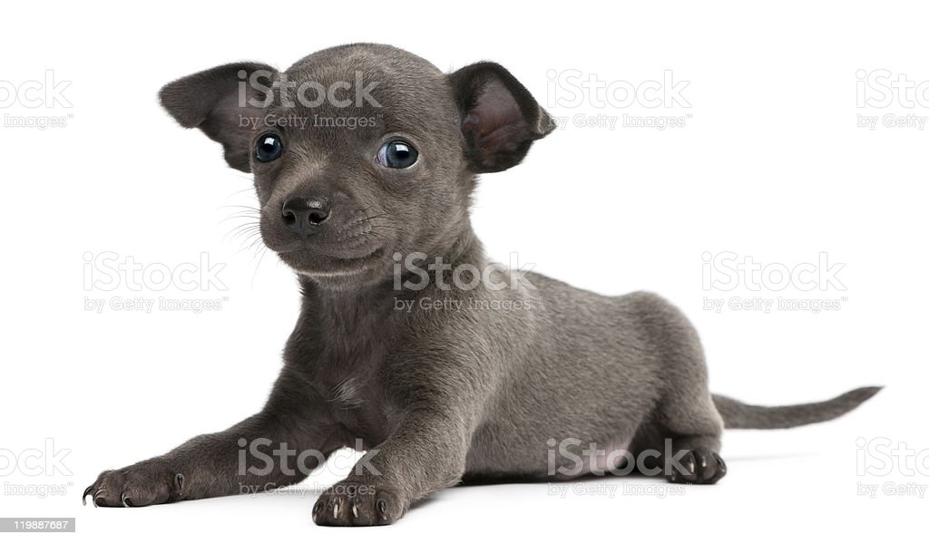 Chihuahua puppy, 6 weeks old, lying, white background. royalty-free stock photo