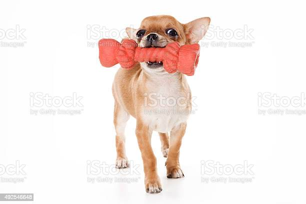 Chihuahua puppy and big toy picture id492546648?b=1&k=6&m=492546648&s=612x612&h=cn ug pa1nwsnh f9fwrwcsav4t5m5ytv2e7hbmand0=