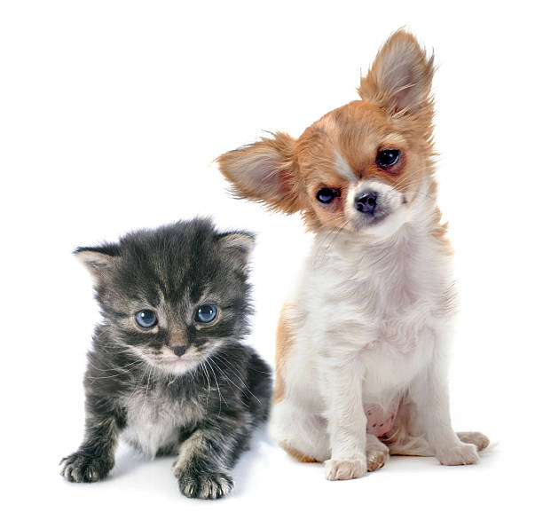 Chihuahua puppy and blueeyed kitten on white backdrop picture id181218414?b=1&k=6&m=181218414&s=612x612&w=0&h=sy5fizxymfbisb3ghvazhaigugeig6rumirh9hkbppc=