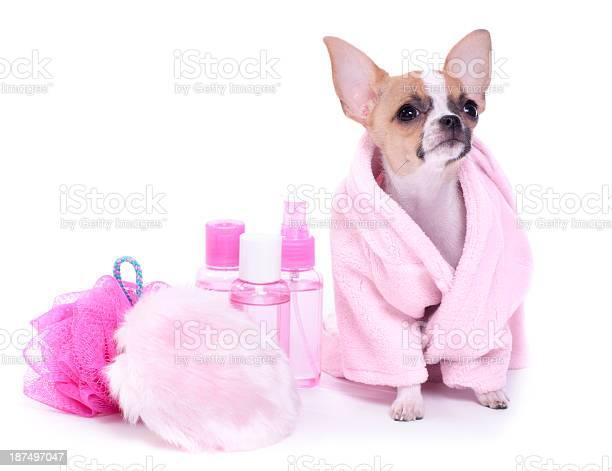 Chihuahua puppy day at the spa picture id187497047?b=1&k=6&m=187497047&s=612x612&h=zhy0mcwzn0y1ekelly4ocd4steeov1df1ysh0fbbrwk=