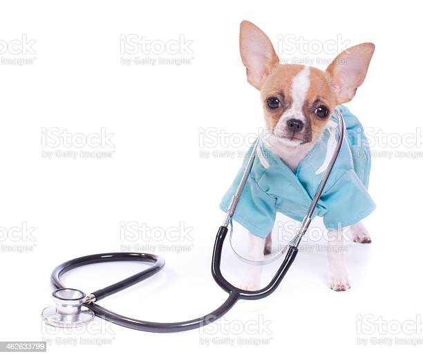 Chihuahua puppy dog veterinarian picture id462633799?b=1&k=6&m=462633799&s=612x612&h=vfp9ho9cjzo6v jk21z nsatavidjl3zz l7xlwvv5q=