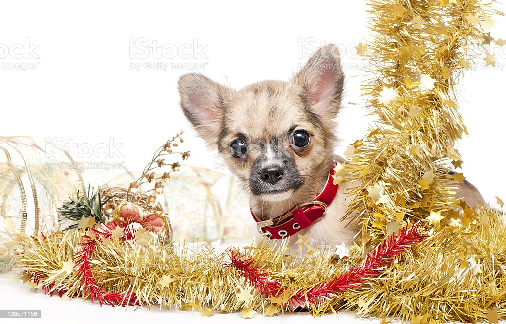 Chihuahua puppy in a frame of golden tinsel royalty-free stock photo