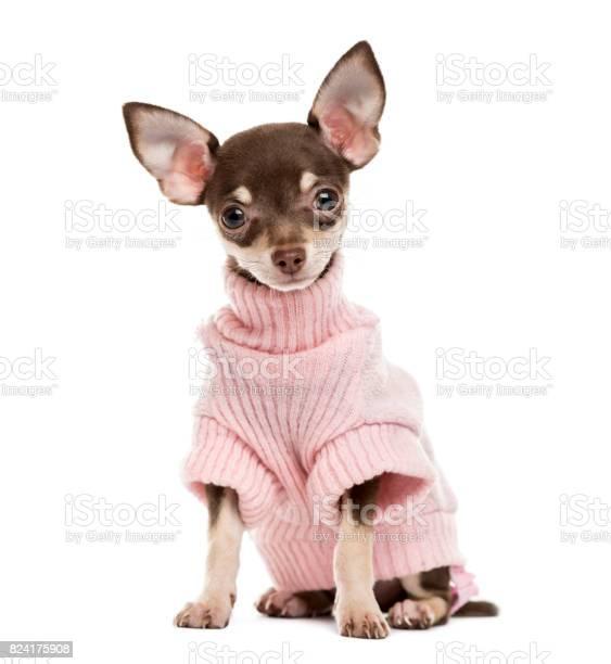 Chihuahua puppy isolated on white picture id824175908?b=1&k=6&m=824175908&s=612x612&h=fmtgcrazuyrvqhxmvxwhylvjphhk e2urgg1ruzv me=