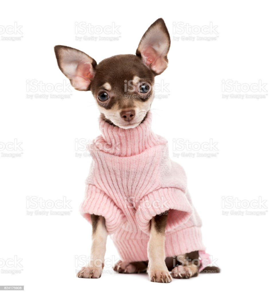 Chihuahua puppy isolated on white stock photo