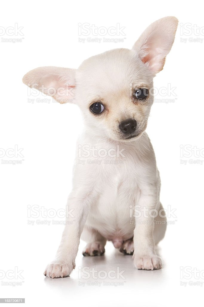 Chihuahua Puppy On White Background Stock Photo Download Image Now Istock